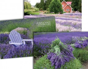Purple Haze Lavender postcards